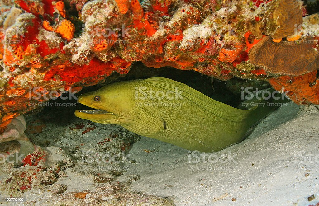 Green Moray (Gymnothorax funebris) in Cozumel Mexico royalty-free stock photo