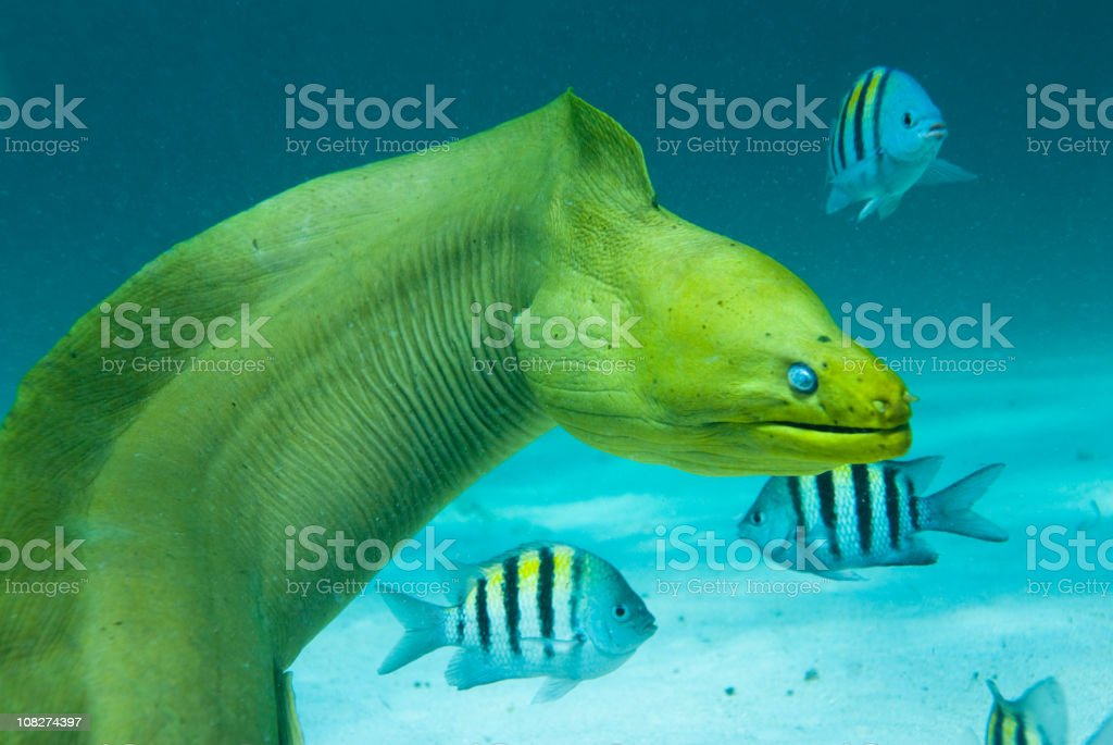 Green Moray Saltwater Eel with Other Fish stock photo