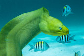 Green Moray Saltwater Eel with Other Fish