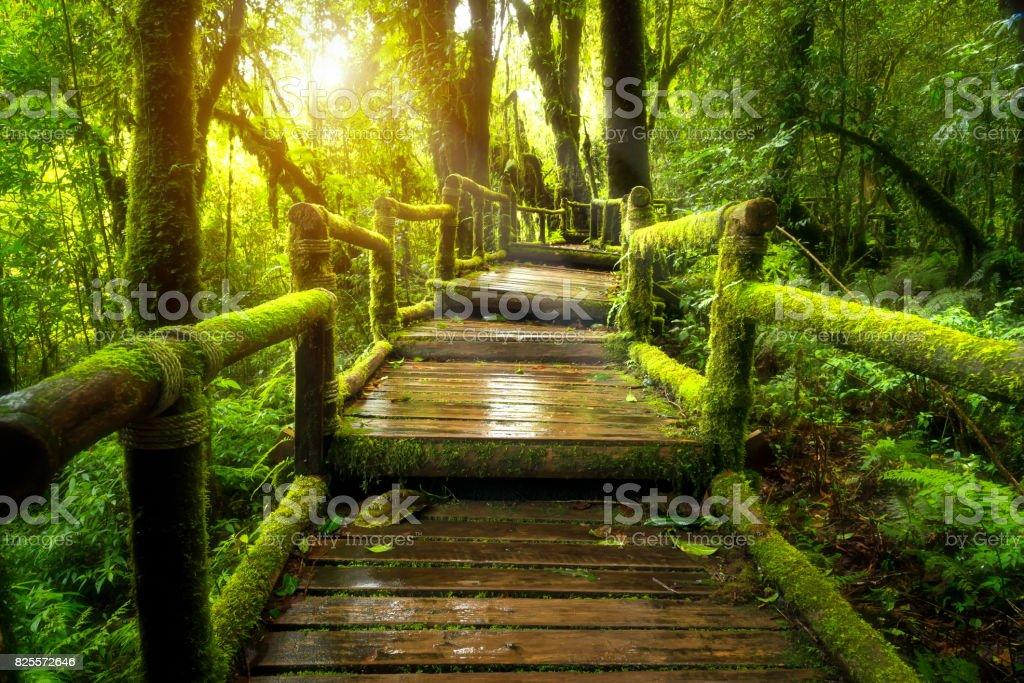 Green moss and wooden bridge at Angka nature trail stock photo