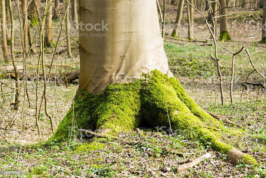 Green moss at the foot of tree in spring forest royalty-free stock photo