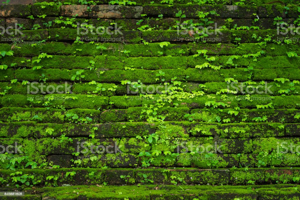 Green moss growing on old brick wall, Evergreen green moss at primitive forest located  Inthanon national park, Chiangmai, Thailand stock photo