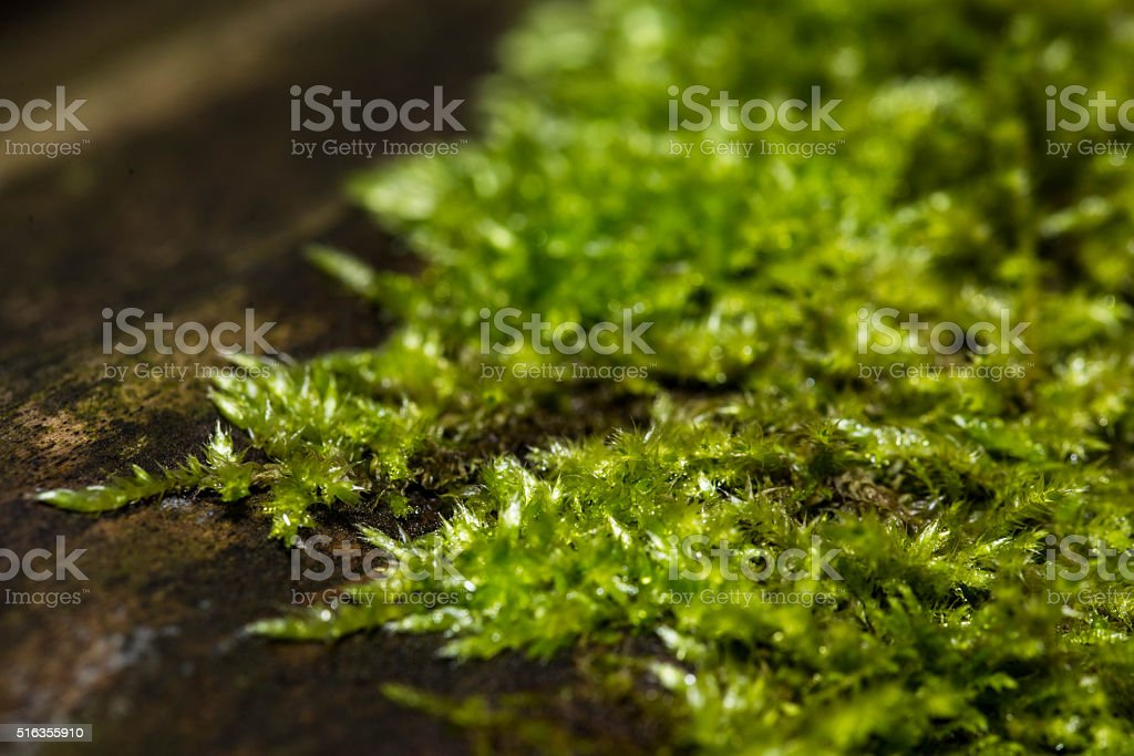 Green moss in old forest, abstract background stock photo