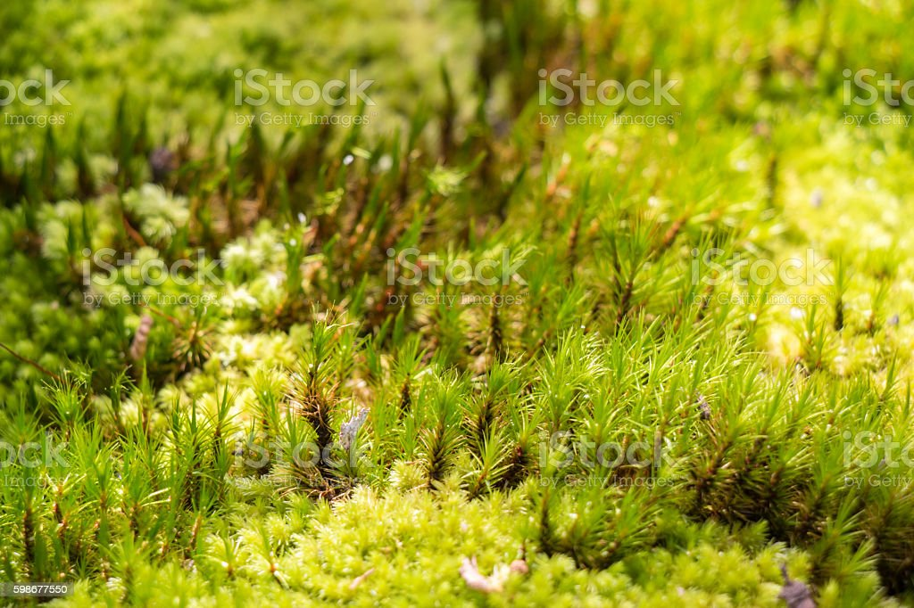 Green moss in rain forest, small flowerless plant stock photo