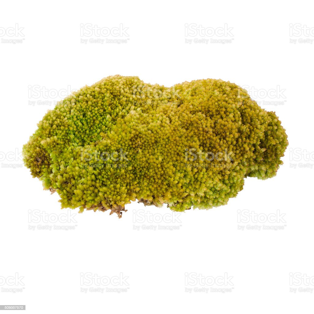Green moss isolated on white bakground stock photo