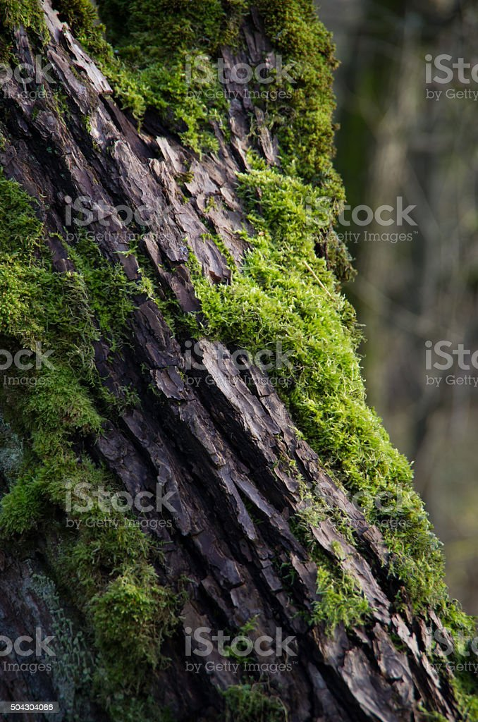 Green moss on the tree bark. stock photo