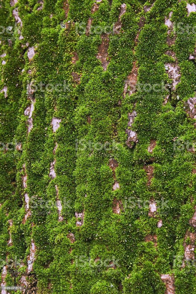 Green moss on the tree bark stock photo