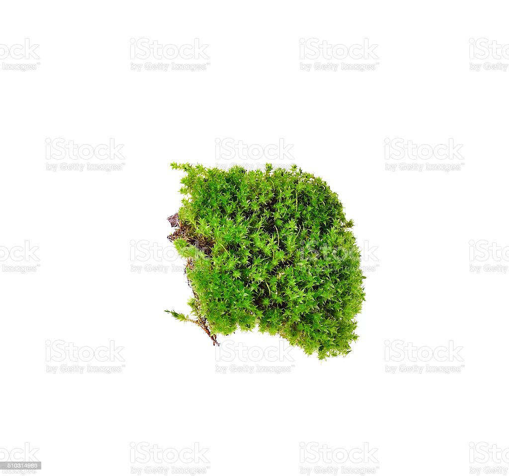 green moss on white background stock photo