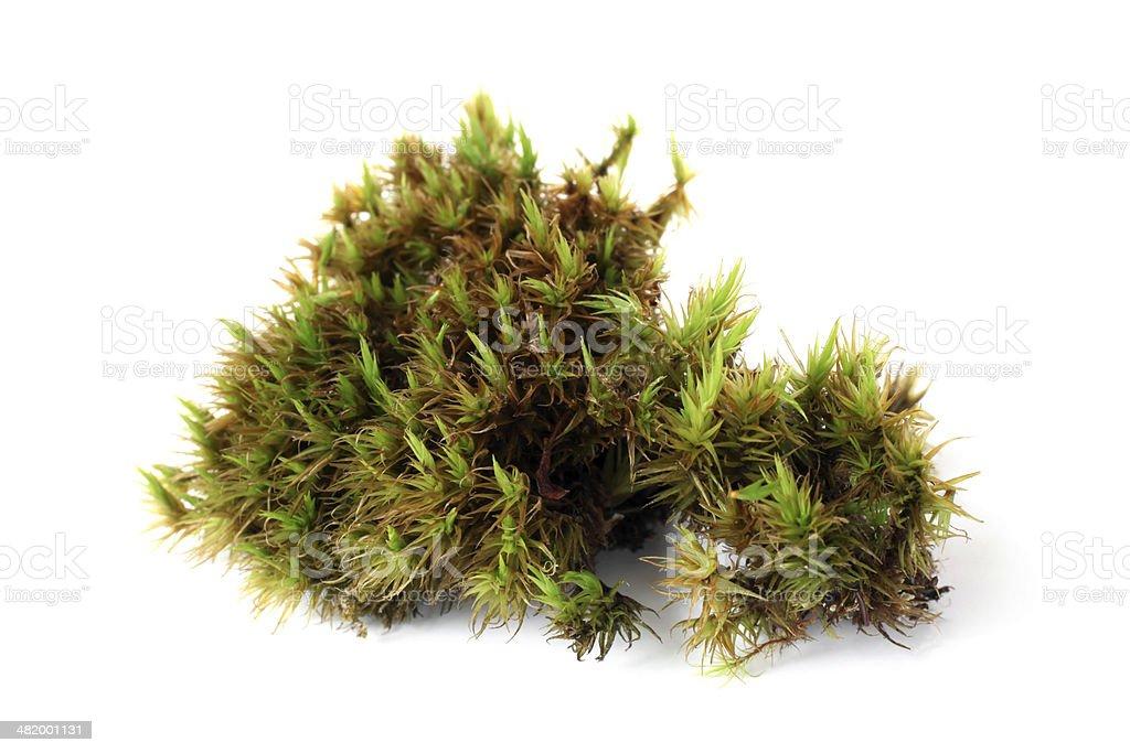 Green moss (Polytrichum commune) stock photo