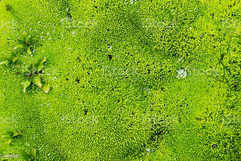 Green moss seen in Iceland stock photo