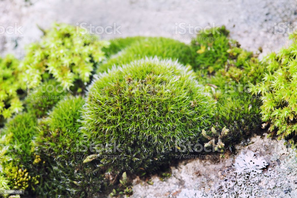Green moss still life on stone background, Beautiful rock plant surface, shallow depth of field. Selective focus stock photo