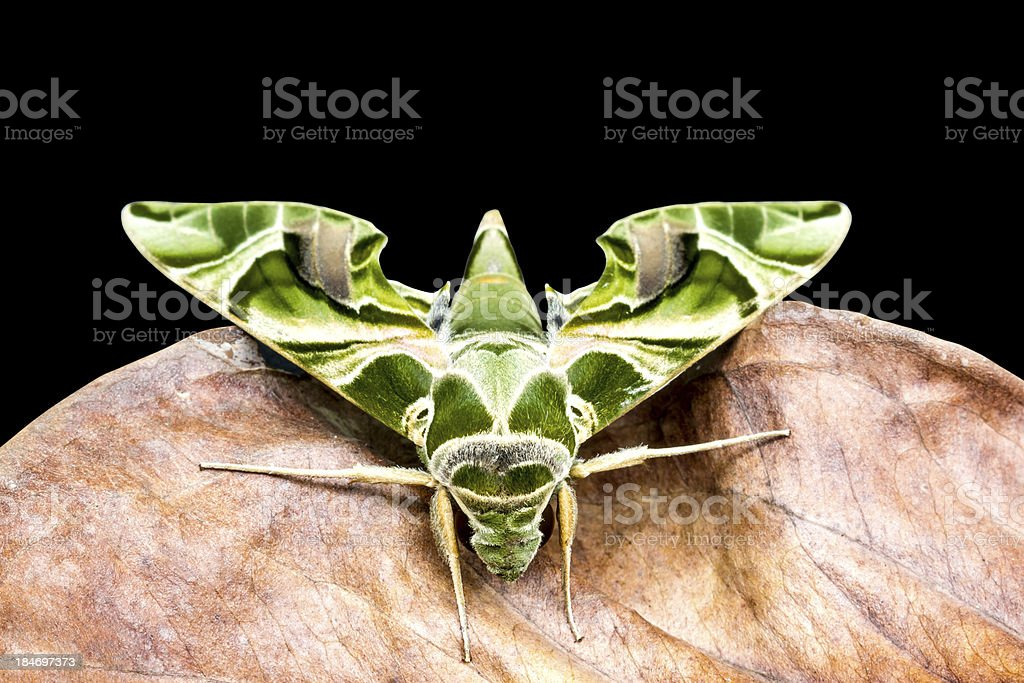 Green moth is on dry leaf stock photo
