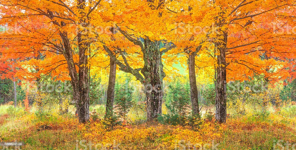 Green Mountain with autumn sugar maple trees,VT stock photo