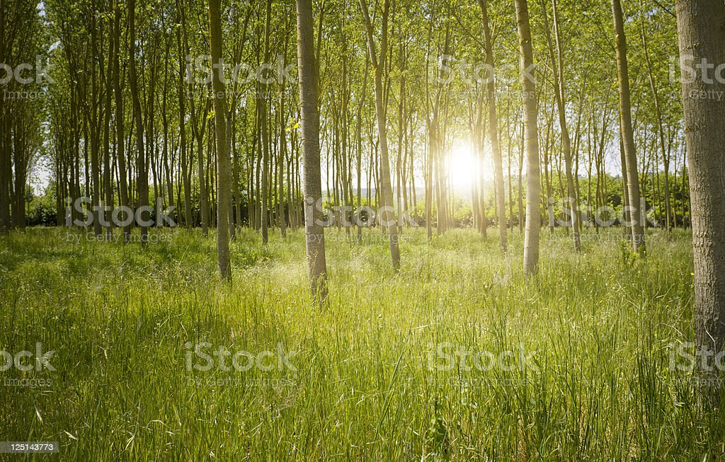 Green mystic Forest at sunrise stock photo