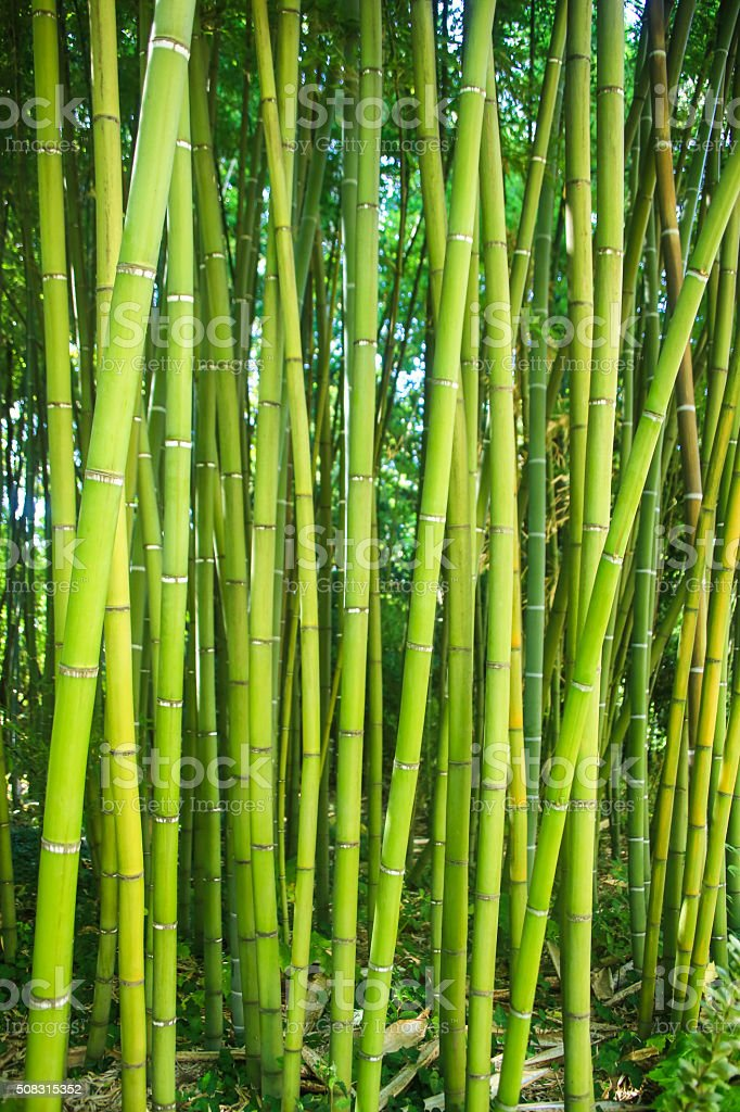 Green natural background - bamboo forest stock photo
