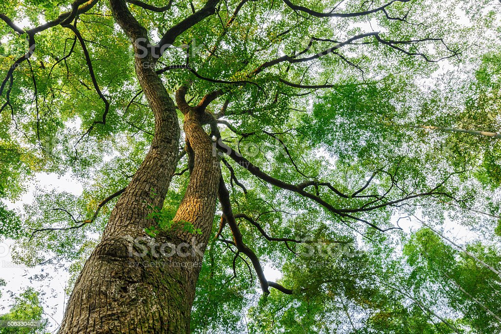 Green natural background of Camphor trees stock photo