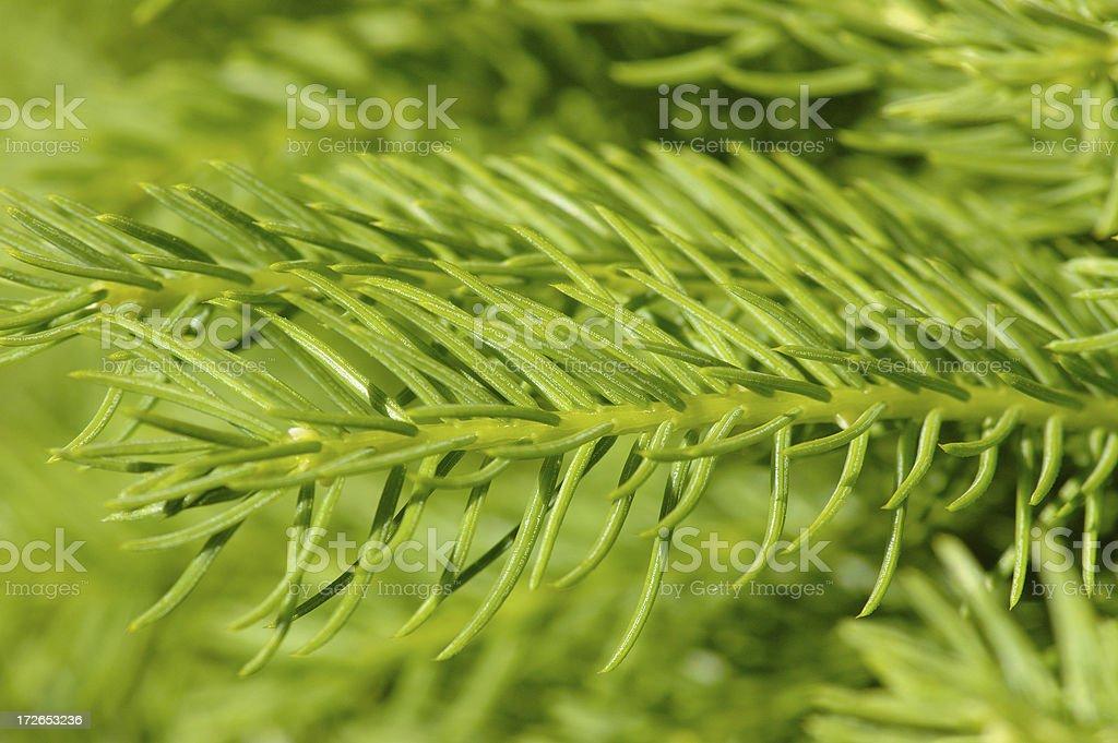 Green needles - Fir closeup royalty-free stock photo