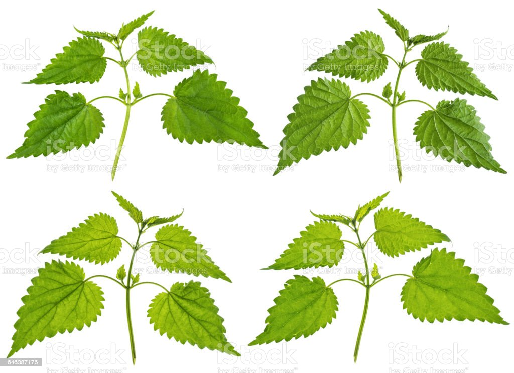 Green Nettle bunch isolated on white stock photo