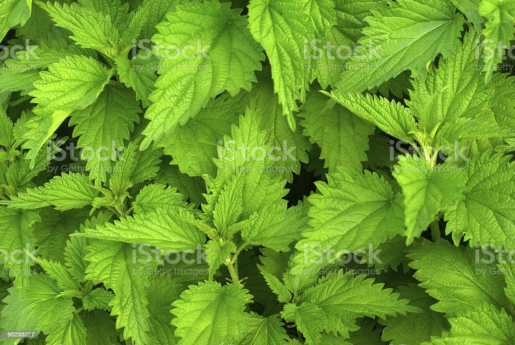 Green nettle stock photo