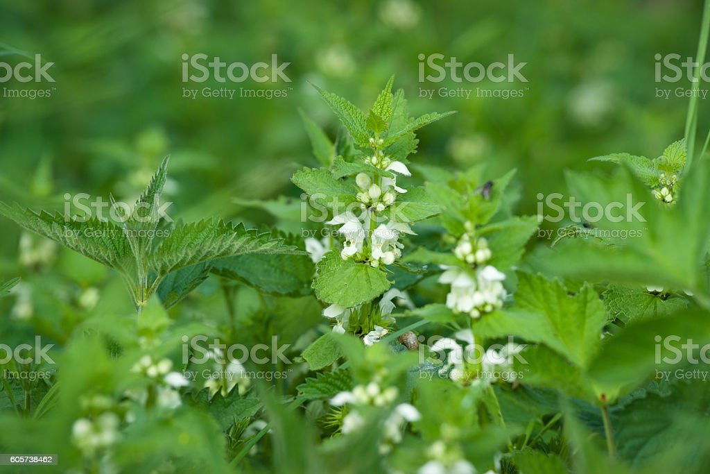 Green nettles with white flowers stock photo