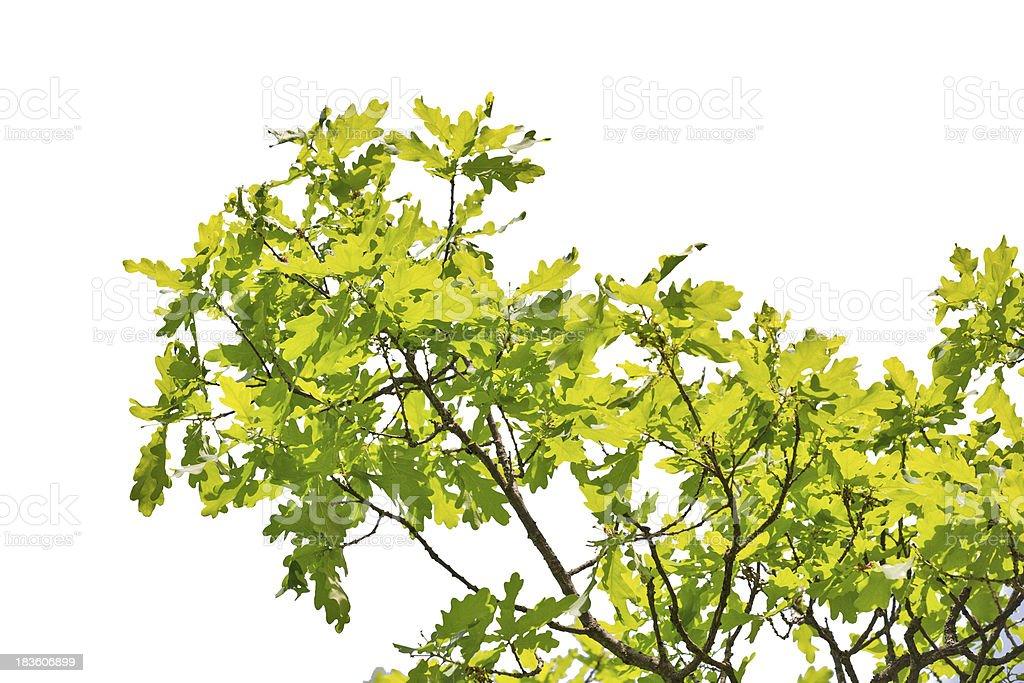 green oak foliage isolated on white royalty-free stock photo