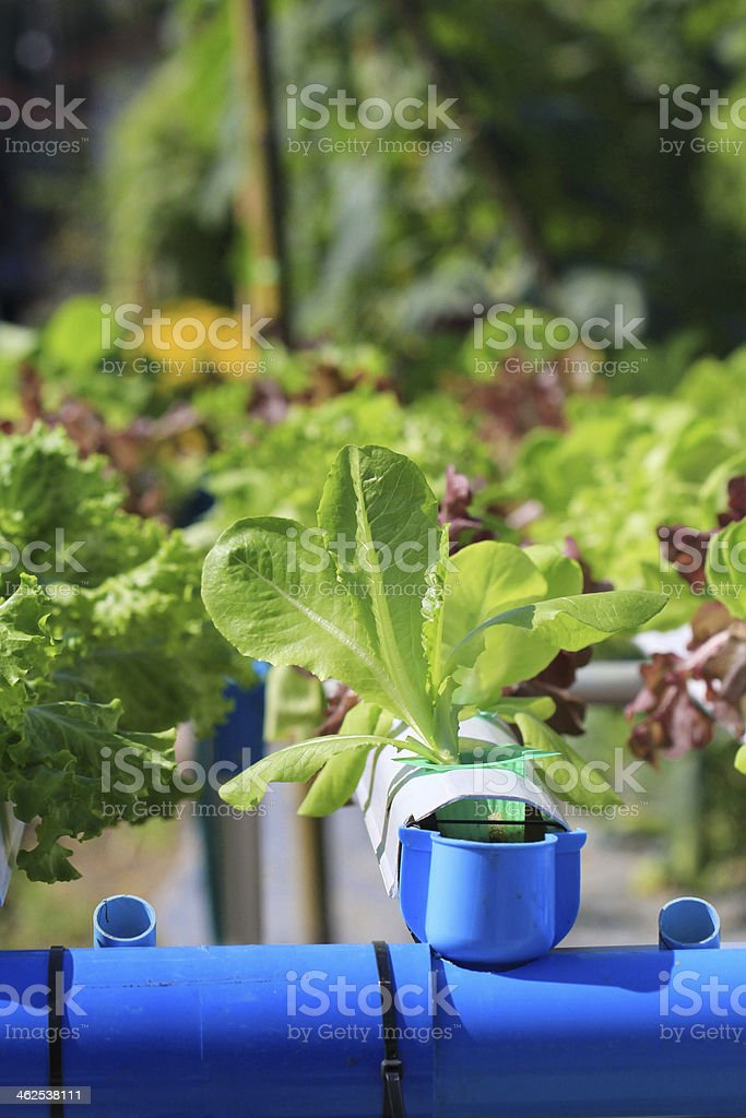 green oak in vegetables hydroponics farm royalty-free stock photo