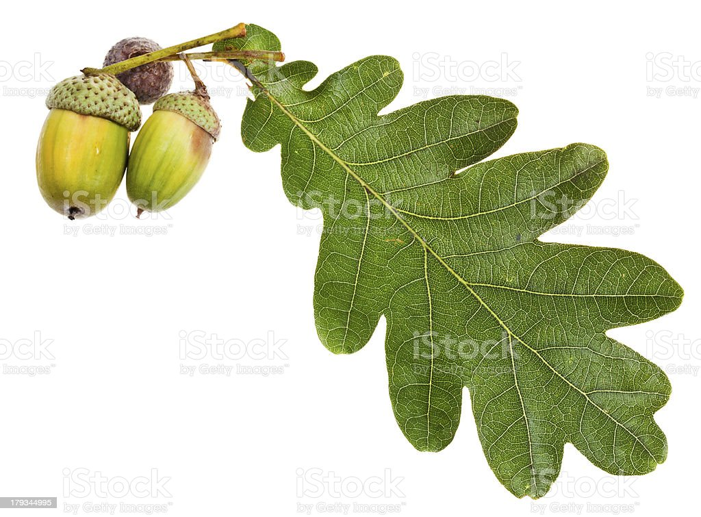 green oak leaf and acorns stock photo