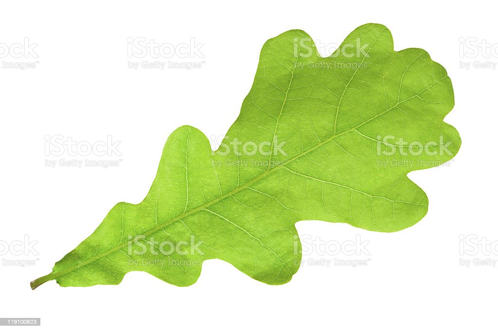 Green oak leaf royalty-free stock photo