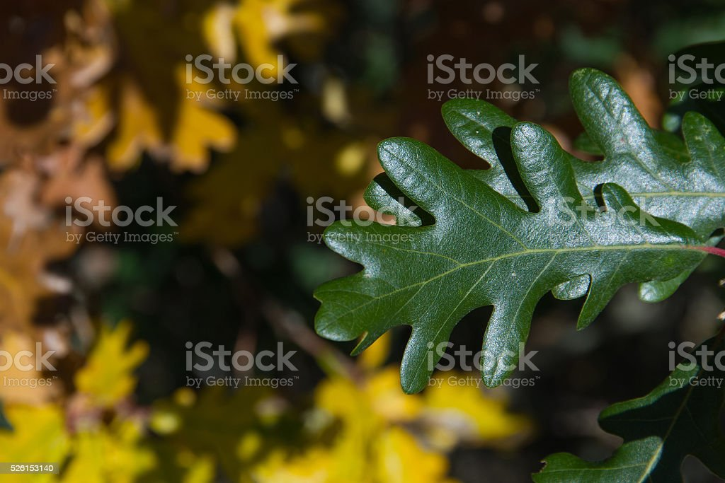 Green Oak Leaf With Yellow Leaves Fund - Otoño stock photo