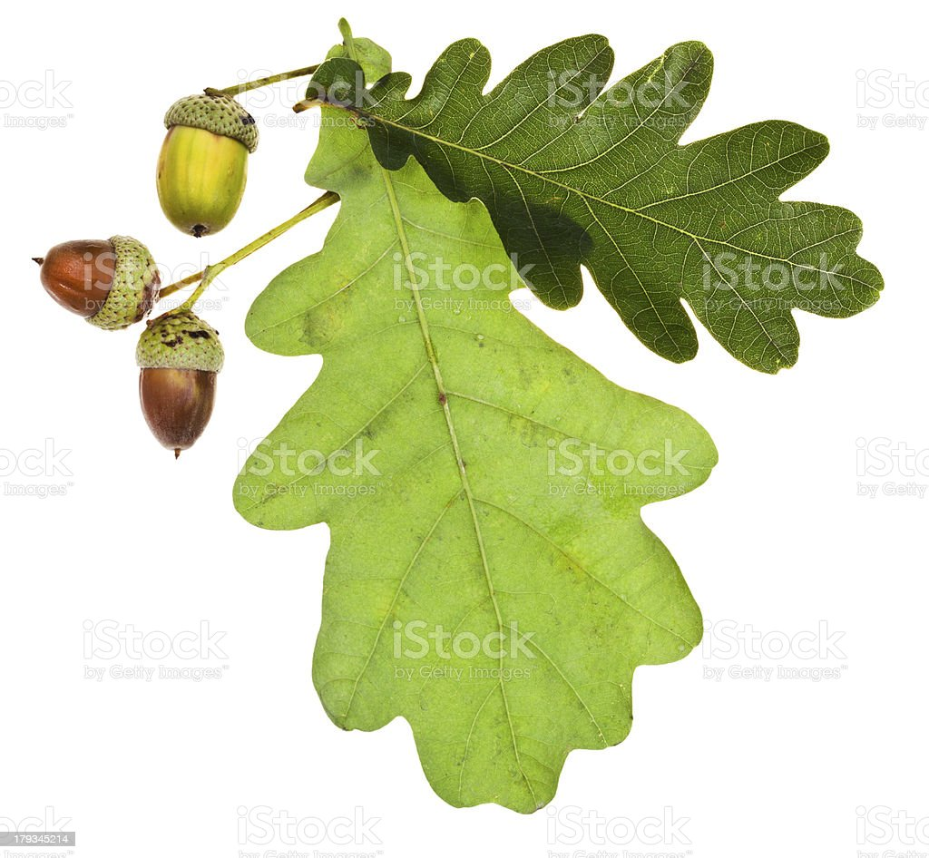 green oak leaves and acorns stock photo