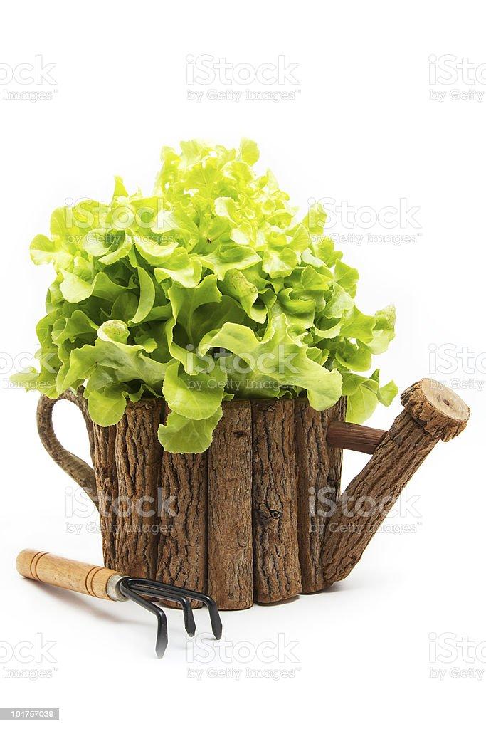 Green Oak Lettuce royalty-free stock photo