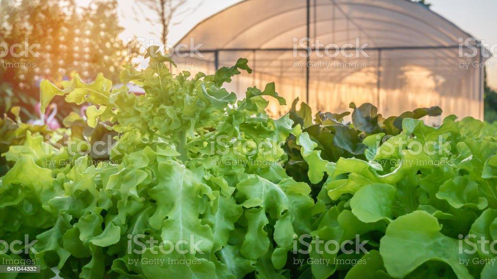 green oak lettuce stock photo