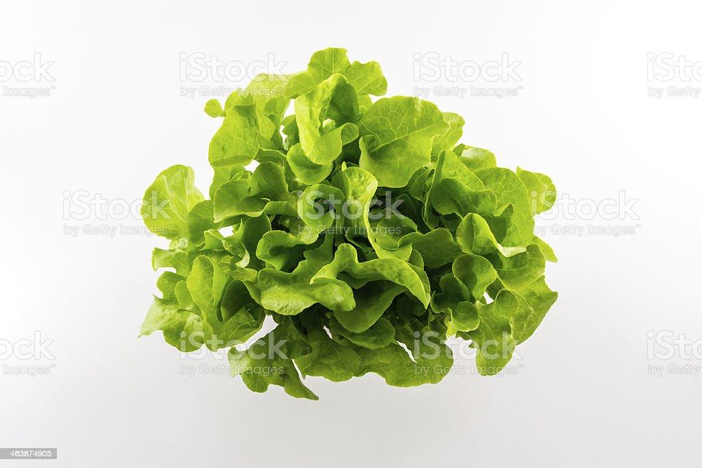Green oak. stock photo