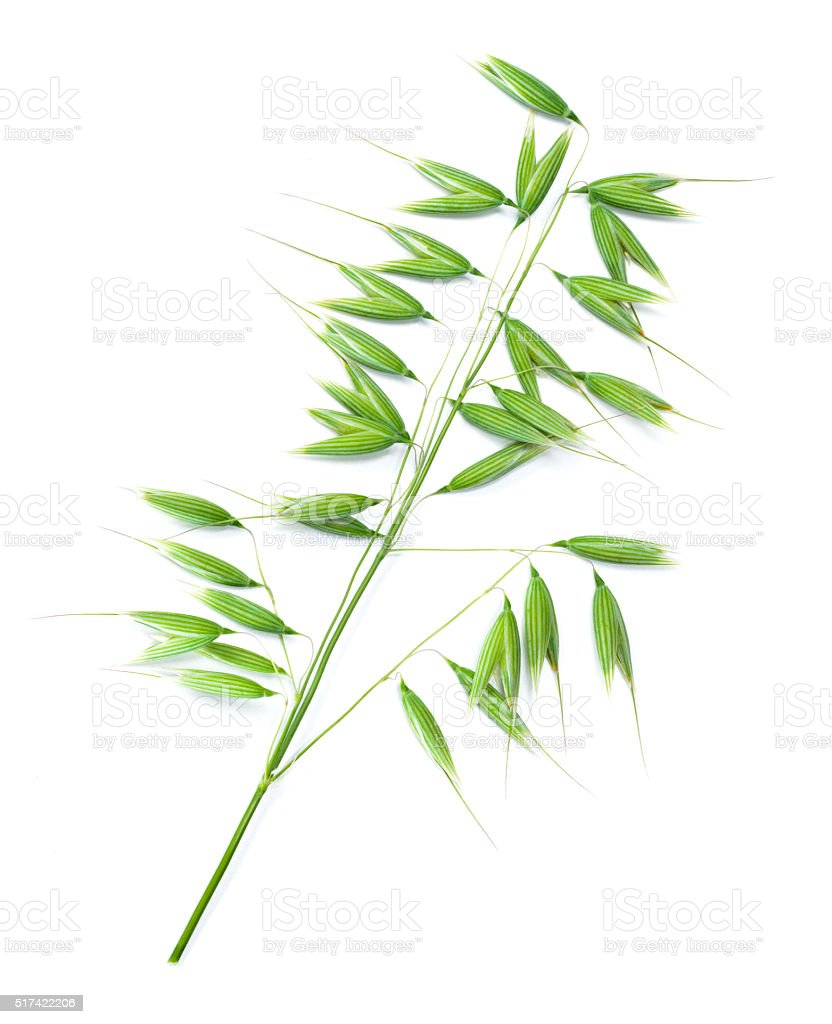Green oat isolated on white background. stock photo