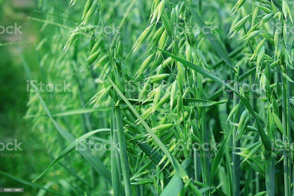green oat stock photo