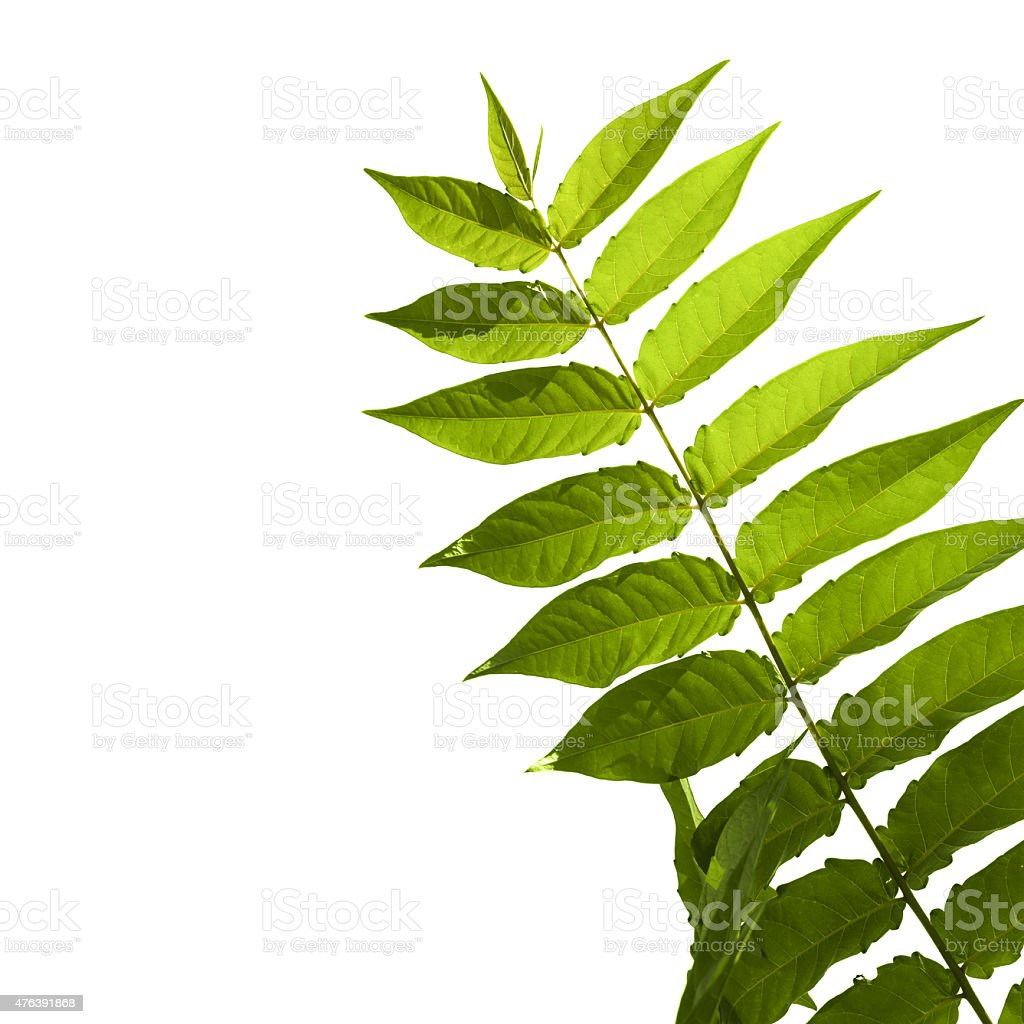 Green odd pinnate leaf of a tropical plant isolated stock photo
