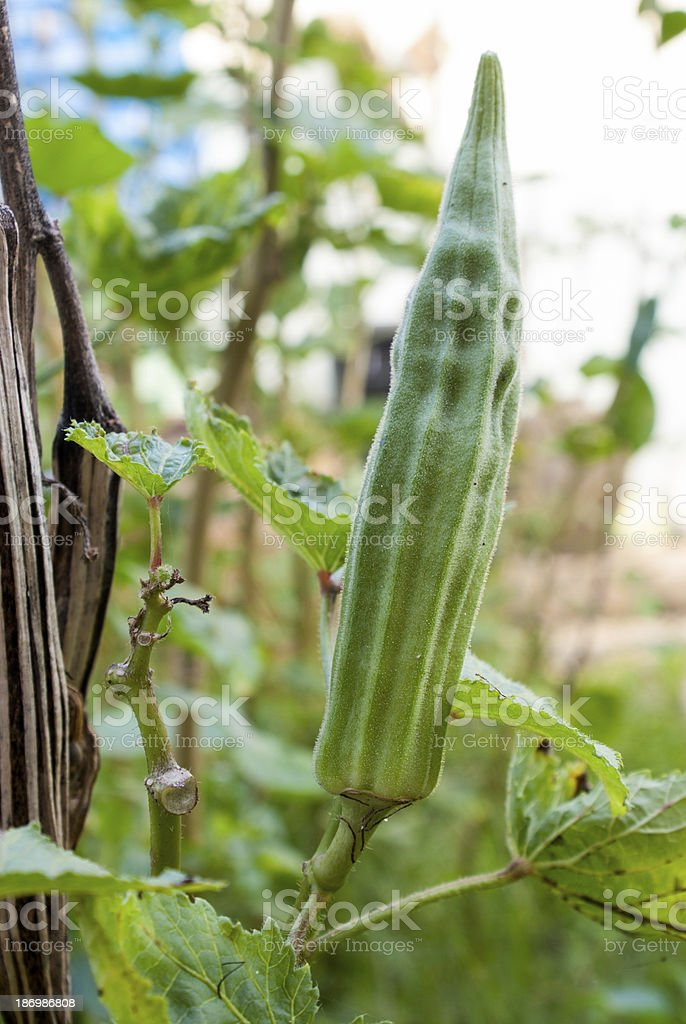 Green Okra royalty-free stock photo