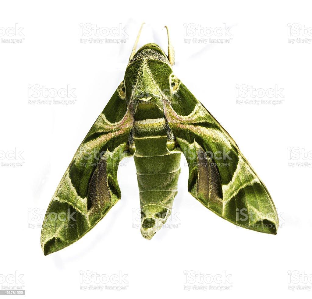 Green oleander Hawk moth stock photo