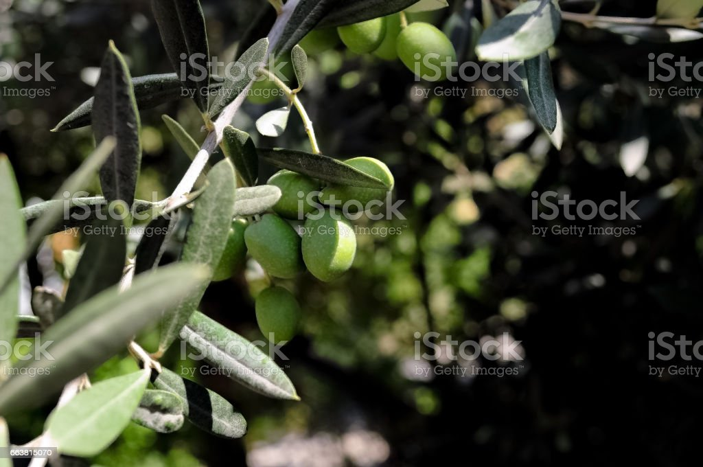 Green olive tree. stock photo