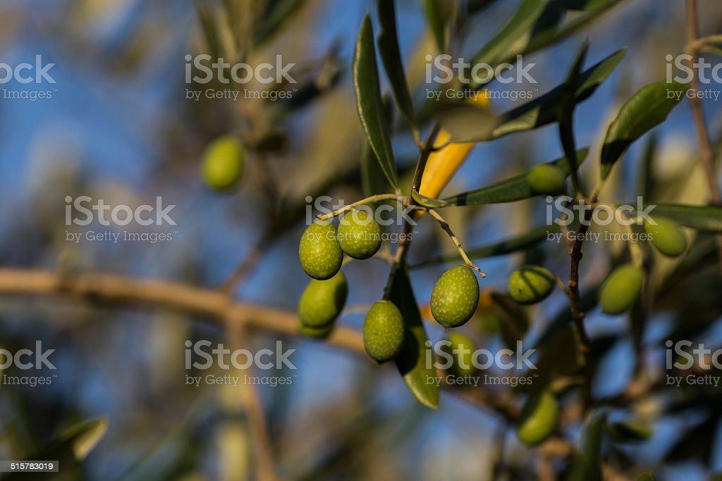 green olives in Tuscany, Italy stock photo