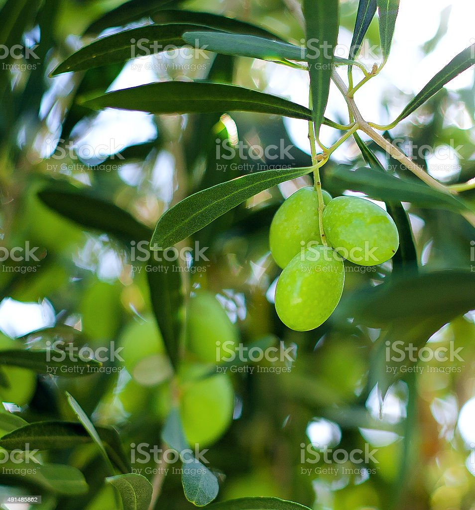 Green olives on a tree stock photo