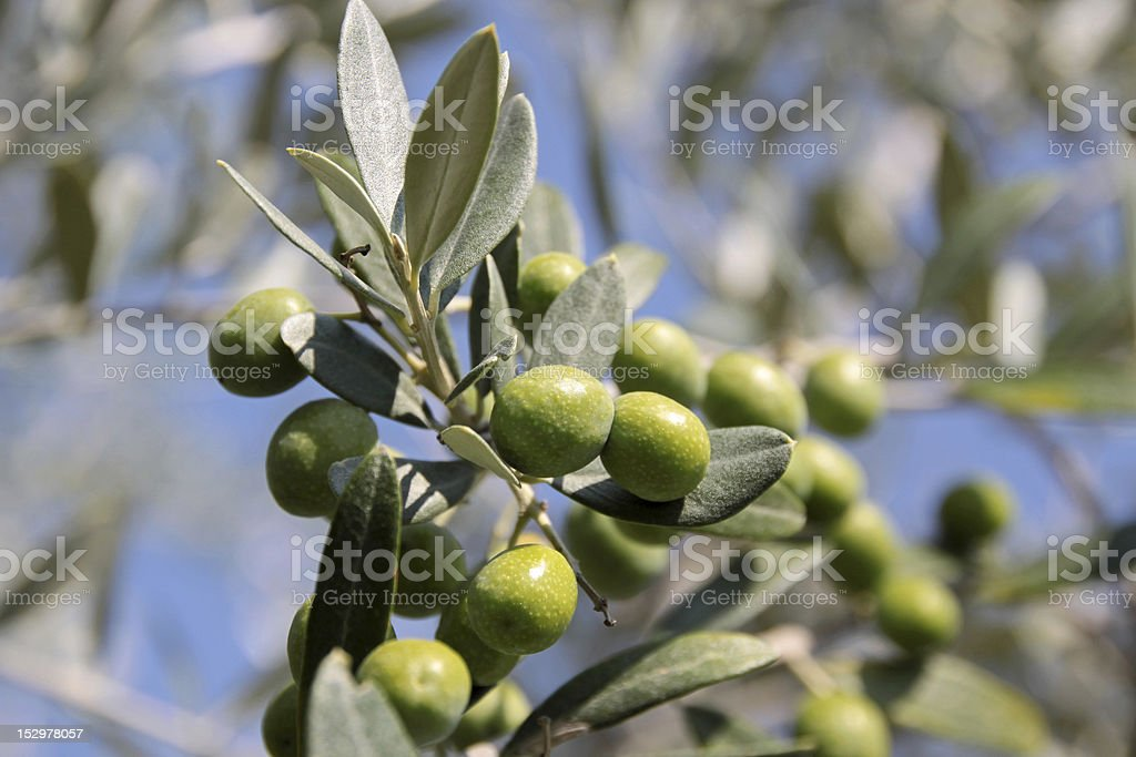 Green olives on the tree royalty-free stock photo