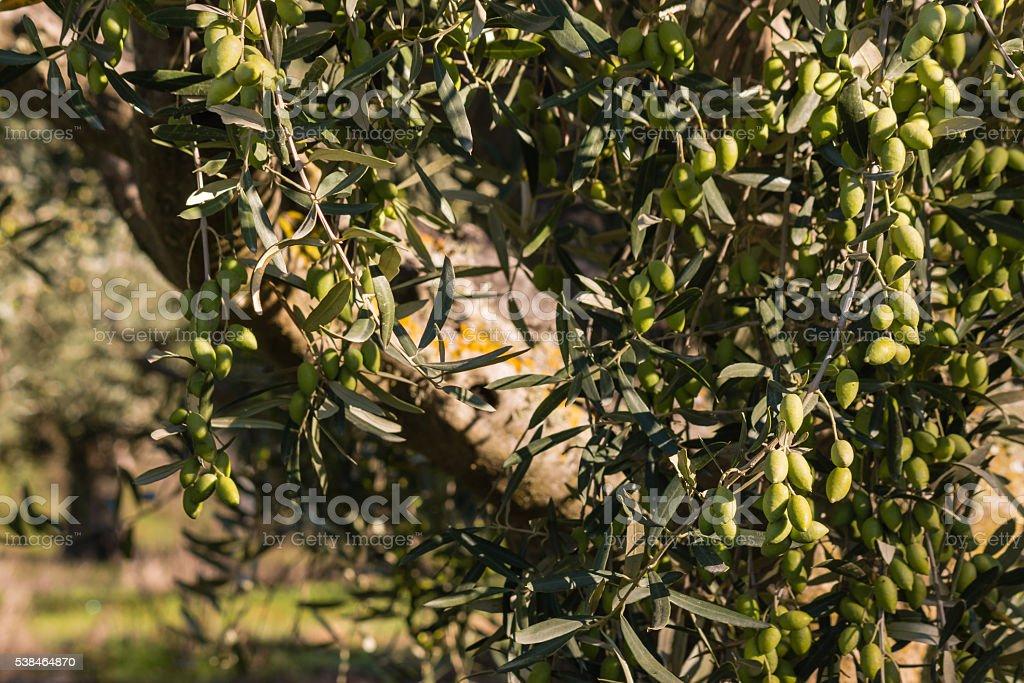green olives on tree stock photo