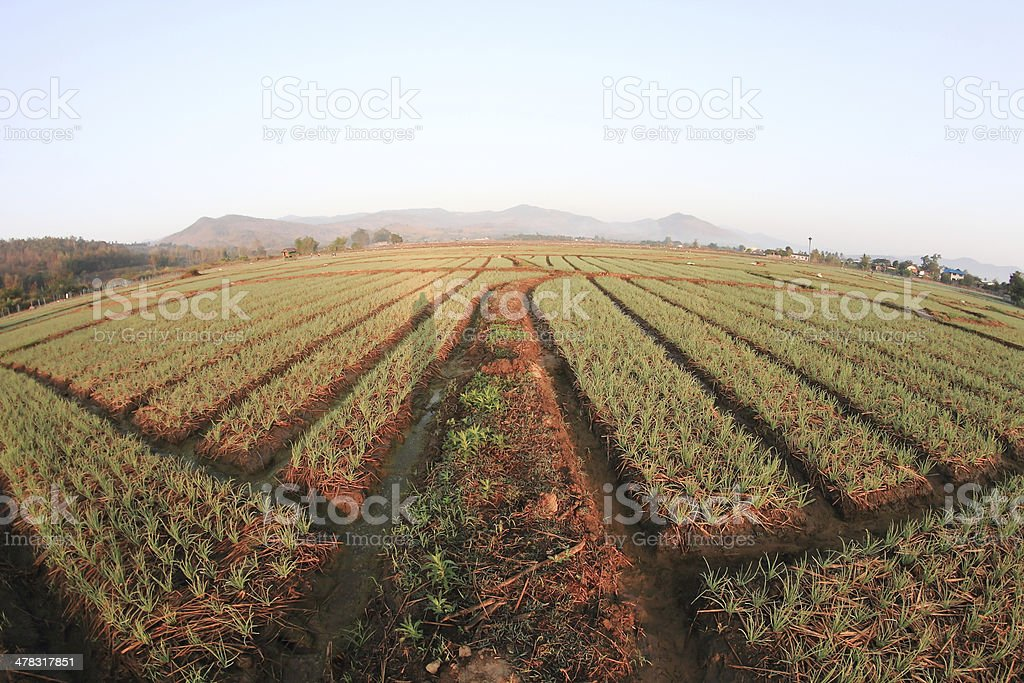 Green onion field in Northern of Thailand royalty-free stock photo