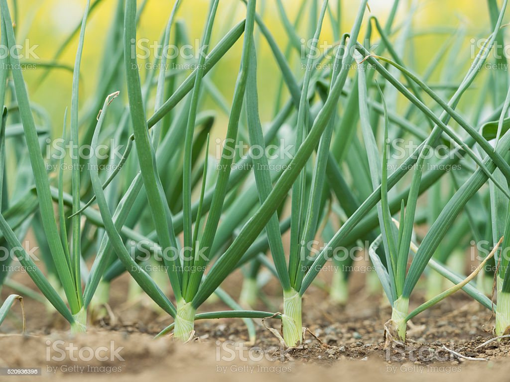 Green onion field stock photo