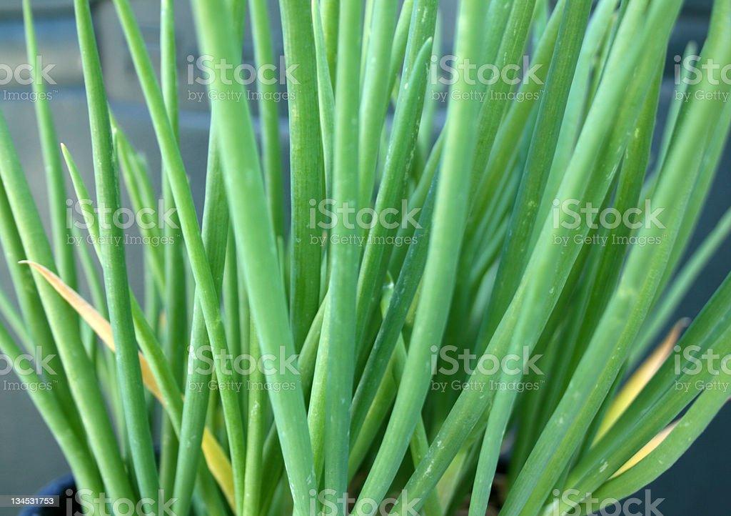 green onion tree stock photo