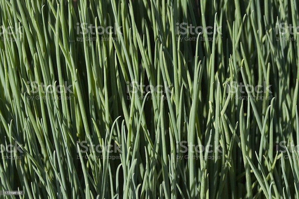 Green Onions royalty-free stock photo