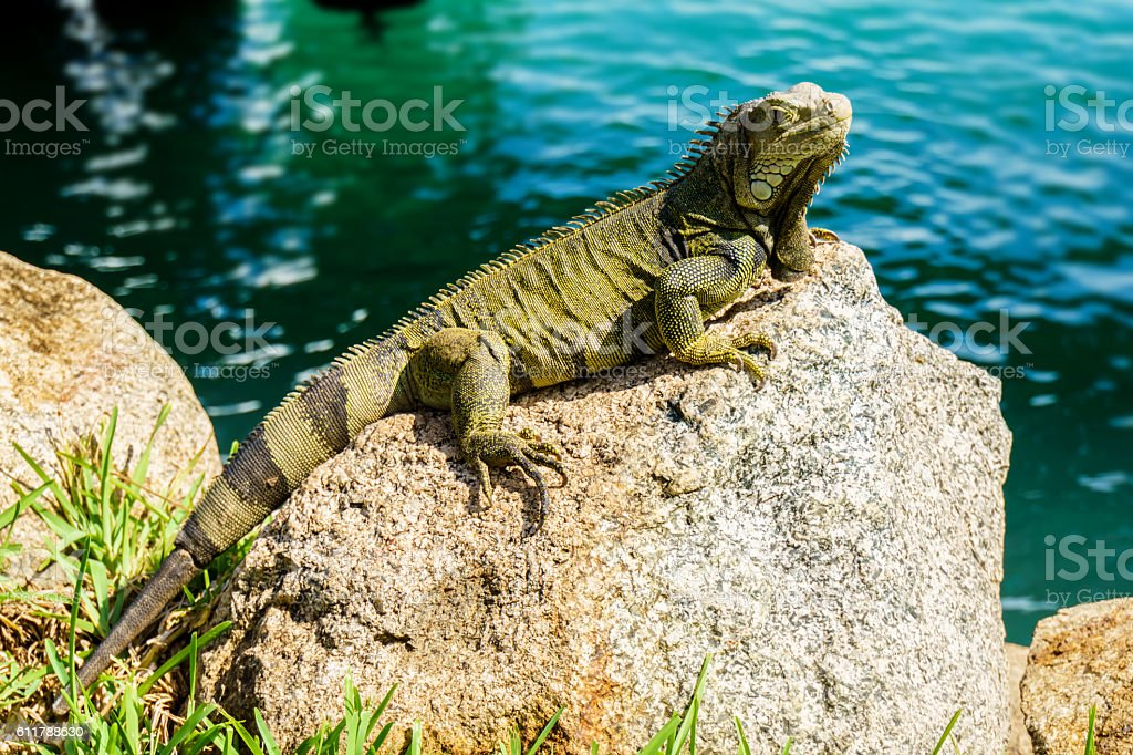 Green or Common Iguana on a rock stock photo