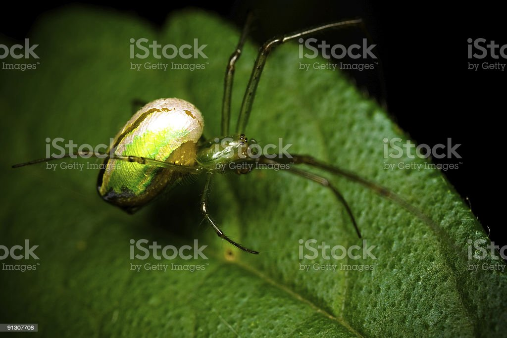 Green orb spider royalty-free stock photo