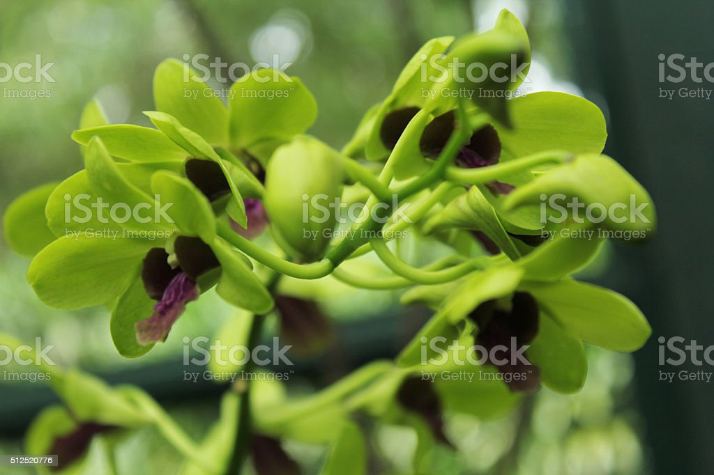 Green Orchid stock photo